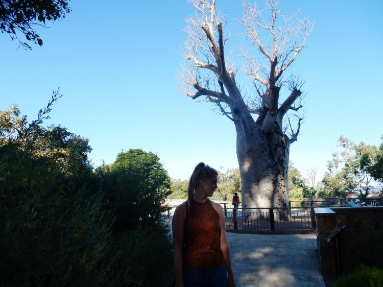boab-tree-perth