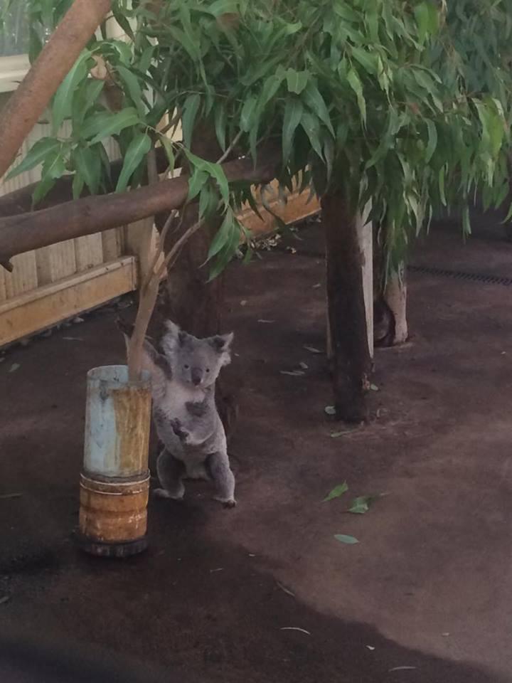 quoala-bear-australia